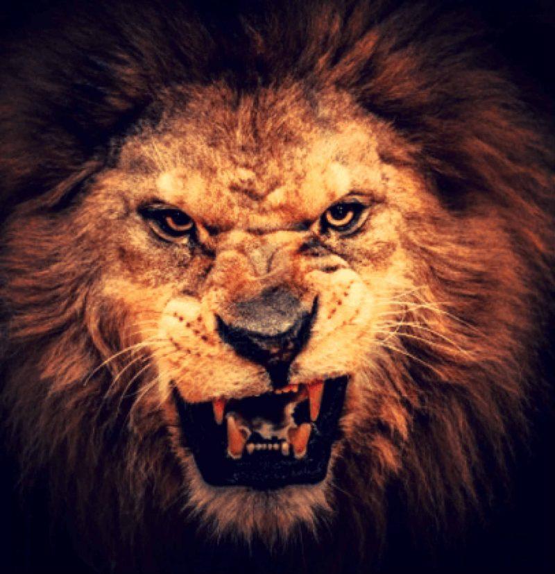 fierce-lion